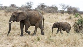 El caminar del sideview de los elefantes de la madre y del niño Fotos de archivo