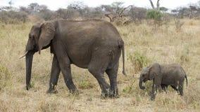 El caminar del sideview de los elefantes de la madre y del niño Imágenes de archivo libres de regalías