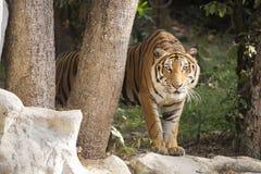 El caminar del tigre de Bengala Imagenes de archivo