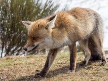 El caminar del zorro rojo (vulpes del Vulpes) Fotografía de archivo libre de regalías