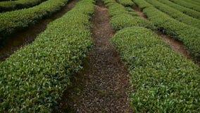 El caminar en la plantación de té verde en la montaña almacen de metraje de vídeo