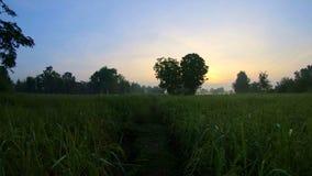 El caminar en los campos de arroz por la mañana metrajes