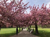 El caminar en el parque de los cerezos foto de archivo