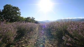El caminar en un campo de la lavanda en un día soleado almacen de video