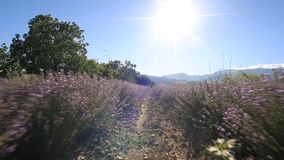 El caminar en un campo de la lavanda en un día soleado metrajes