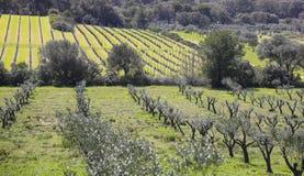 El caminar en el verde entre los olivos del Porquerolles I fotos de archivo