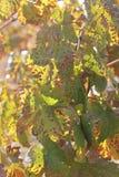 El caminar entre los viñedos Imagen de archivo