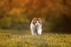 El caminar escocés del gatito Imagen de archivo