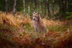 El caminar eurasiático del lince Gato salvaje de Alemania Lince entre los árboles Carnívoro de la caza en hierba del otoño Lince  imagen de archivo