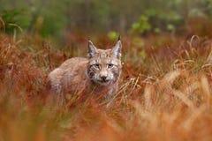 El caminar eurasiático del lince Gato salvaje de Alemania Lince entre los árboles Carnívoro de la caza en hierba del otoño El lin imagen de archivo