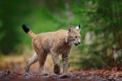 El caminar eurasiático del lince Gato salvaje de Alemania Lince entre los árboles Carnívoro de la caza en hierba del otoño El lin fotos de archivo