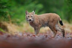 El caminar eurasiático del lince Gato salvaje de Alemania Lince entre los árboles Carnívoro de la caza en hierba del otoño El lin foto de archivo