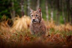 El caminar eurasiático del lince Gato salvaje de Alemania Lince entre los árboles Carnívoro de la caza en hierba del otoño El lin imágenes de archivo libres de regalías