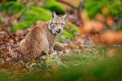El caminar eurasiático del lince Gato salvaje de Alemania Lince entre los árboles Carnívoro de la caza en hierba del otoño Lince  fotos de archivo
