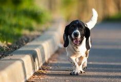 El caminar feliz del perro de caza del afloramiento Imagen de archivo