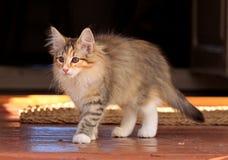 El caminar femenino del gatito del gato noruego hermoso del bosque Fotos de archivo