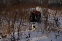 El caminar fornido en nieve con la cabeza abajo fotografía de archivo libre de regalías