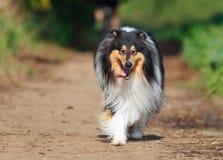El caminar hacia protrait negro del perro del collie en naturaleza Fotografía de archivo