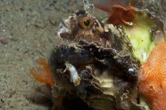 El caminar invertebrado de Trapania en la esponja Fotos de archivo