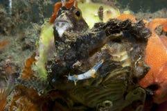 El caminar invertebrado de Trapania en la esponja Imagenes de archivo