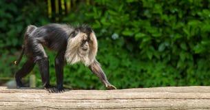 el caminar León-atado del macaque foto de archivo libre de regalías
