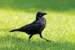 El caminar negro del cuervo Fotos de archivo