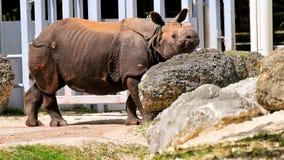 El caminar parado rinoceronte a la actitud para la cámara imagenes de archivo