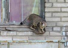 El caminar rayado grueso del gato imagen de archivo libre de regalías