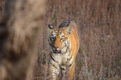 El caminar salvaje del tigre Foto de archivo libre de regalías