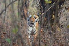 El caminar salvaje del tigre Fotografía de archivo libre de regalías