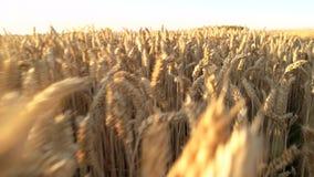 El caminar a través de campo de trigo almacen de video