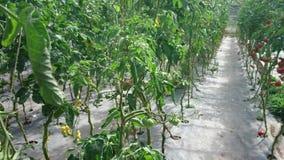 El caminar a través de las plantas de tomate almacen de metraje de vídeo