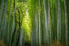 El caminar a través de un bosque de bambú Imágenes de archivo libres de regalías