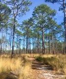 El caminar a través de un bosque del pino Imagen de archivo libre de regalías