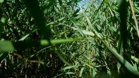 El caminar a través de un campo de maíz almacen de metraje de vídeo