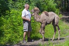 El caminar Two-humped del camello (bactrianus del Camelus) Foto de archivo