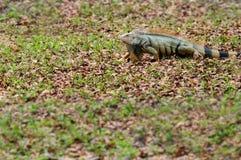 El caminar verde de la iguana Imágenes de archivo libres de regalías