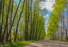 El camino con los árboles de abedul en el verde joven se va en día soleado de la primavera Fotografía de archivo libre de regalías