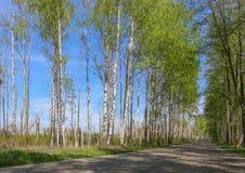 El camino con los árboles de abedul en el verde joven se va en día soleado de la primavera Imagenes de archivo