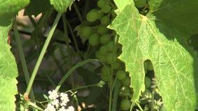 El camino del viñedo a la costa de mar en BulgariaBunch de uvas inmaduras en Bulgaria almacen de metraje de vídeo