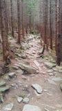 el camino en bosque de un pino salvaje Foto de archivo libre de regalías