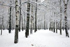 El camino hermoso en arboleda del abedul con nieve cubierta ramifica Fotos de archivo