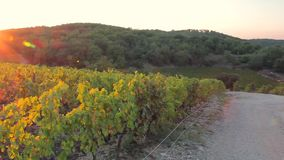 El camino a las uvas y a las vides en el sol en la puesta del sol almacen de video