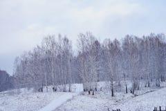 El camino sube para arriba en una colina nevosa en la arboleda desnuda del abedul Imagenes de archivo