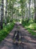 El camino a través de la arboleda del abedul Fotos de archivo