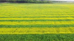 El campo agrario de la violación amarilla y del trigo verde plantó las líneas aéreas detrás y para arriba metrajes