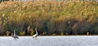 El campo común cranes el grus del Grus que se coloca en la charca Fondo del bastón El sol se levanta sobre las nubes del mar y de imagen de archivo