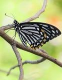 El campo común imita el Para arriba-cierre de Butterfly Foto de archivo libre de regalías