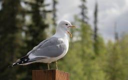 El campo común maúlla gaviota en Alaska fotografía de archivo