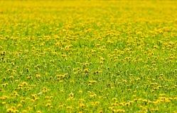 El campo con los dientes de león florecientes Foto de archivo libre de regalías